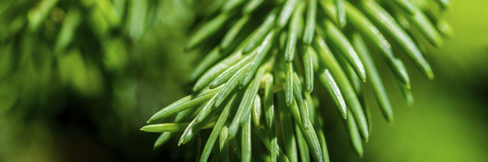 Weihnachtsbaumverkauf, Weihnachtsbäume zum selber sägen und frisches Tannengrün in verschiedenen Sorten