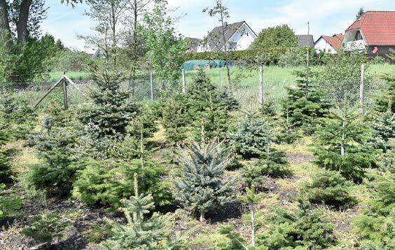 Ein Geschäftszweig des Gartencenters Bosse ist der Weihnachtsbaumhandel – zum Teil mit Bäumen aus dem eigenen Anbau.